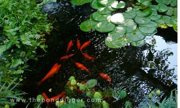 Pond Algae Balance