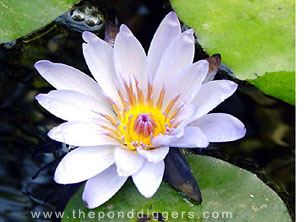 One of the first flowering Plants, The Water Lily