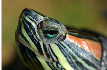 Closeup of Water Turtle (Red Ear Slider)