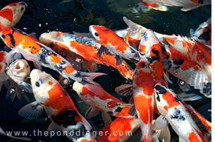To many Koi - Overstocking your pond promotes pond algae